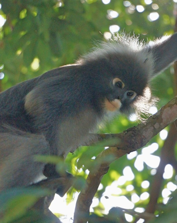 penang-dusky-leaf-monkey-1 | Penang: A Bus Around The Island | Lynn B. Walsh | BL | Black Lion Journal | Black Lion