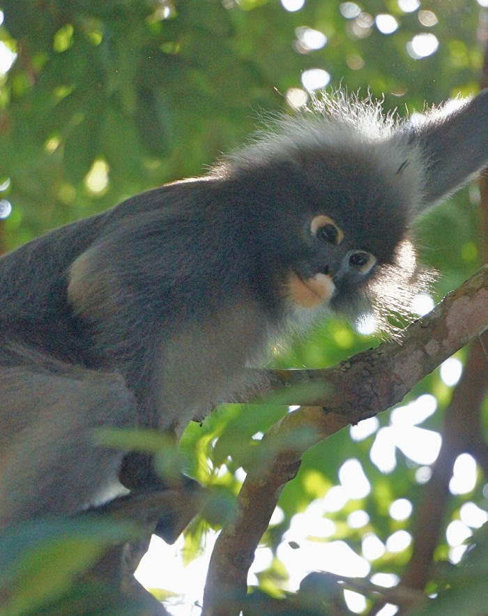 penang-dusky-leaf-monkey-1 | Penang: A Bus Around The Island | Lynn B. Walsh | BL | Black Lion Journal | Black Lion